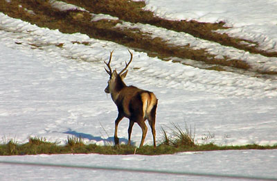 See the stag clearly in the winter snow