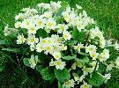 clump of wild primroses