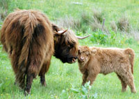 highland calf on Glenlia Farm